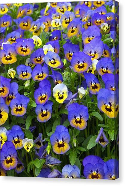 Purple Pansies 1 Canvas Print