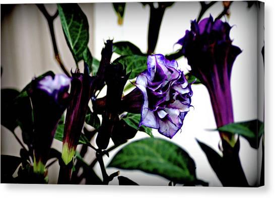Purple People Eater Trumpet Flower Canvas Print by John Wright