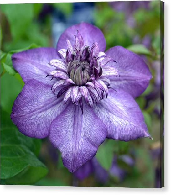 Purple Perfection. Canvas Print by Terence Davis