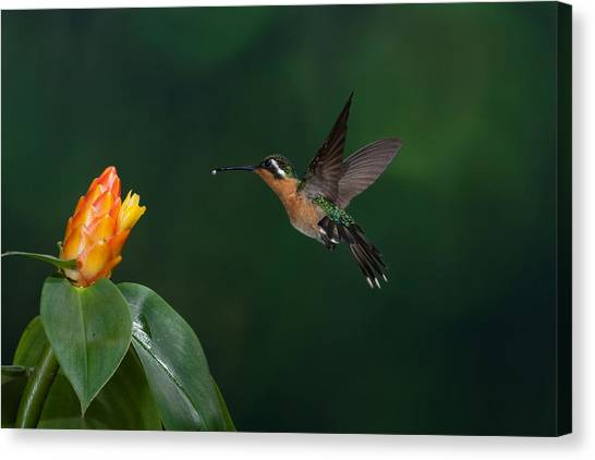 Purple Throated Mountain Gem   Female Canvas Print