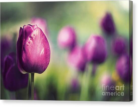 Purple Tulips Canvas Print by Catherine MacBride