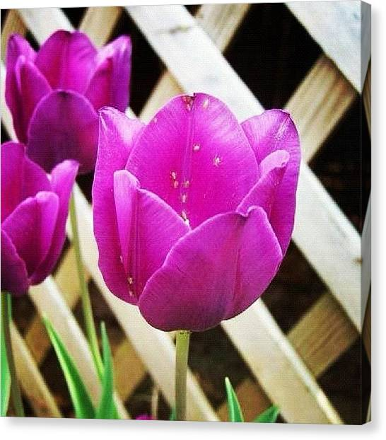 Tulips Canvas Print - #purple #tulips #flower #greenbugs by Lori Lynn Gager