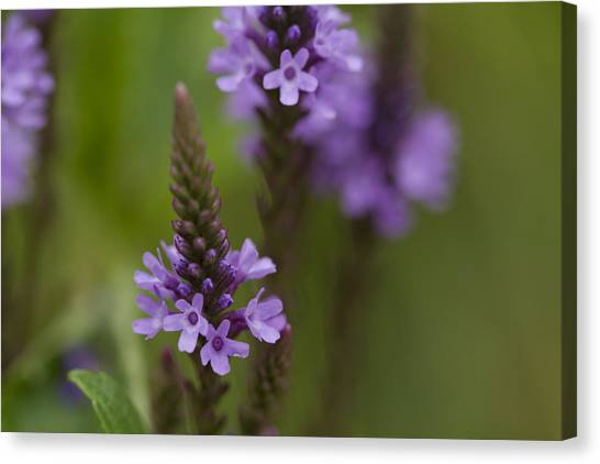 Purple Wildflower Canvas Print by Dean Bennett