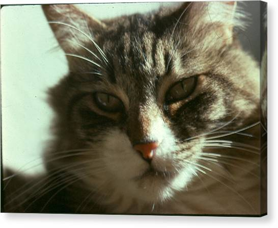 Main Coons Canvas Print - Pye Wacket by Chris Gudger
