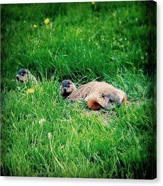 Groundhogs Canvas Print - #quebec #picoftheday #qc #montreal by Nicolas Marois