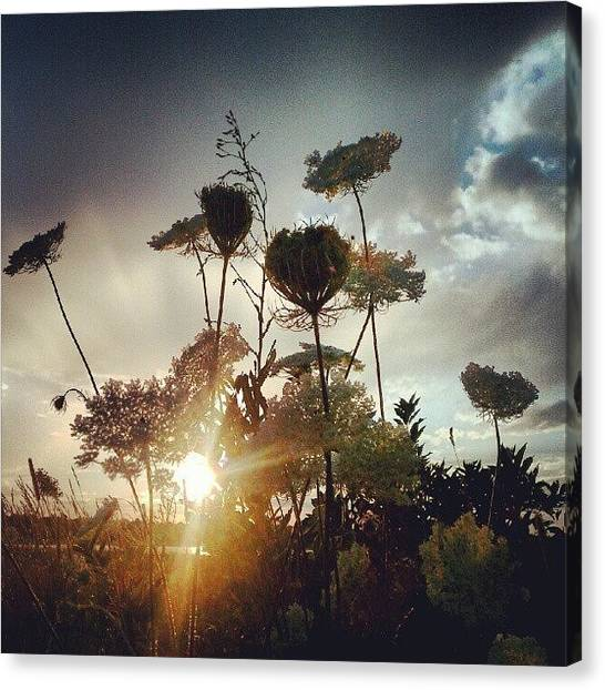 Maine Canvas Print - Queen Anne's Lace At Sunset~ #072412 by Chris T Darling