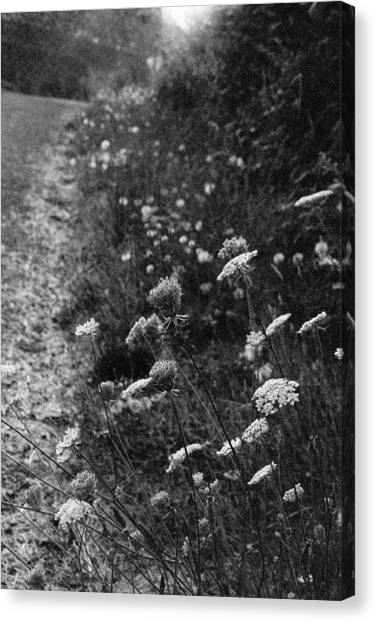 Queen Anne's Lace On Beachcrest Drive In Neskowin Oregon Canvas Print by Christina Weber