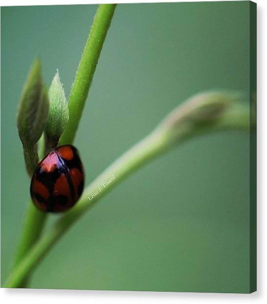Ladybugs Canvas Print - Quiet Times by Leon Traazil