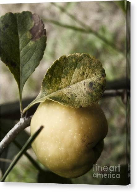 Quince Fruit Canvas Print by Agnieszka Kubica