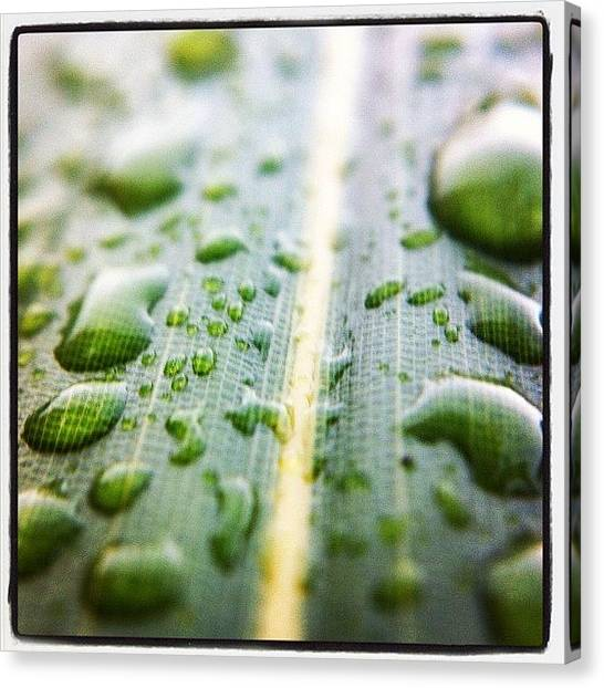 Bamboo Canvas Print - Raindrops On A #bamboo Leaf. #pnw by Kevin Smith