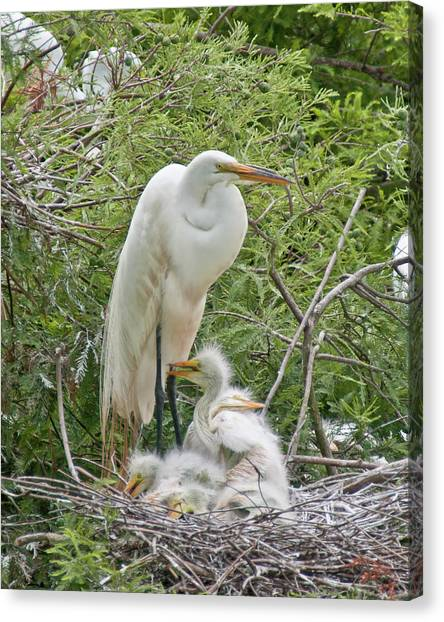 Raising Egrets Canvas Print