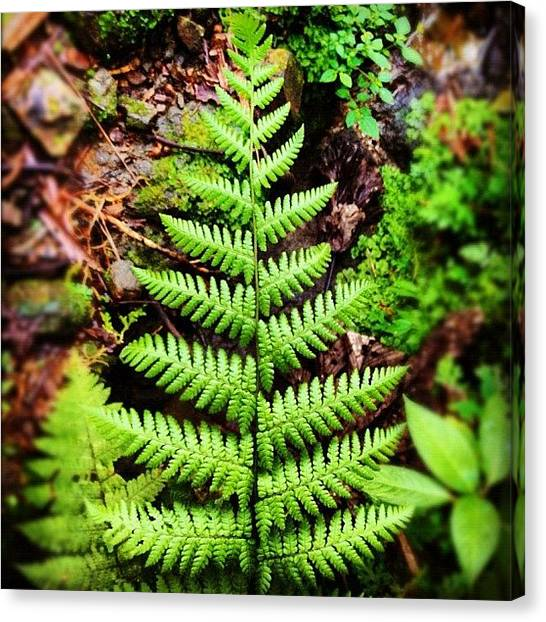 Rainforests Canvas Print - Random Fern by Summer Cloud