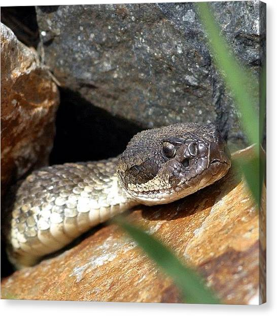 Rattlesnakes Canvas Print - #rattlesnake #nofilter #wild #nature by Raul Roa