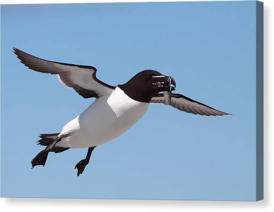 Razorbills Canvas Print - Razorbill In Flight by Bruce J Robinson