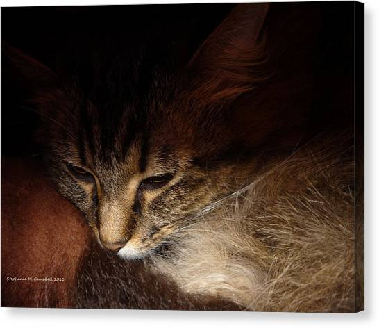 Main Coons Canvas Print - Ready For A Cat Nap by Stephanie Campbell