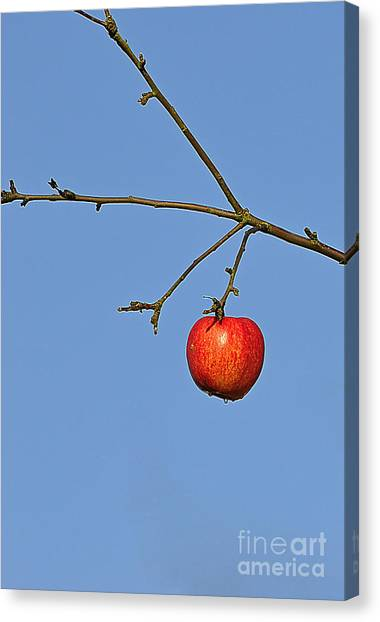 Red Apple Canvas Print by Conny Sjostrom