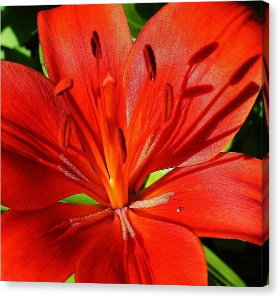 Red Asiatic Lily Canvas Print by Bruce Bley
