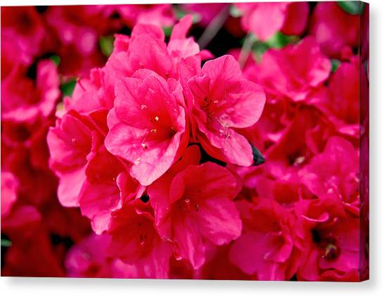 Red Azalea Canvas Print
