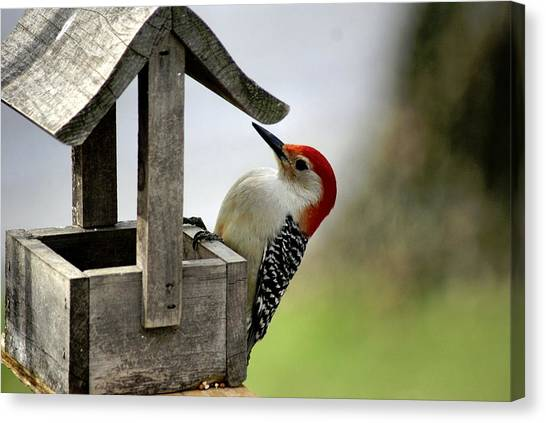 Larry Bird Canvas Print - Red Bellied Woodpecker by L Granville Laird