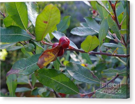 Wild Berries Canvas Print - Red Berry  by Jeff Swan
