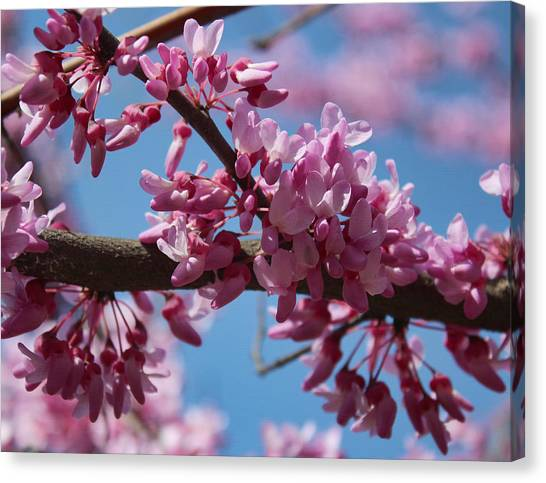 Red Bud In Bloom Canvas Print
