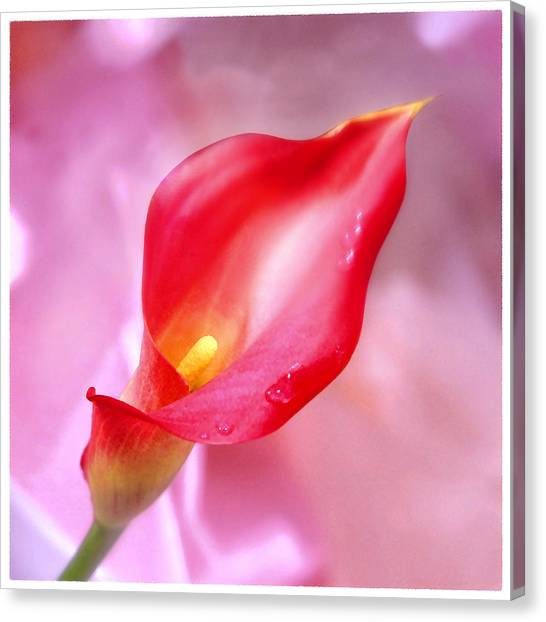 Calla Canvas Print - Red Calla Lily by Mike McGlothlen