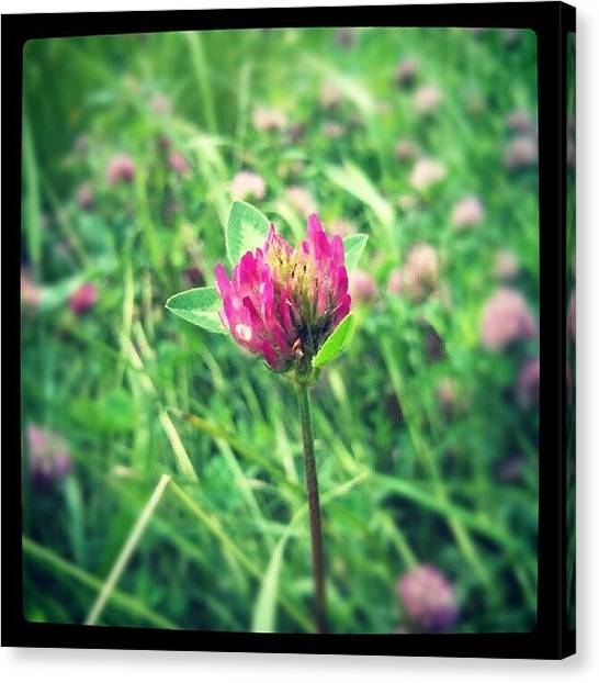Social Canvas Print - Red Clover Flower by Vicki Field