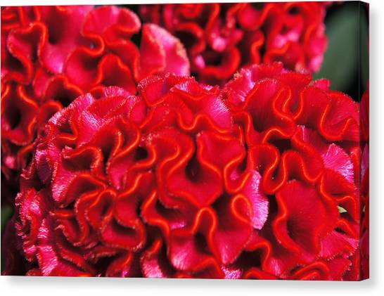 Red Cockscomb Flower Canvas Print by Christopher Mullard