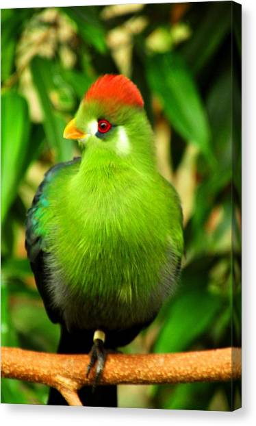 Red Crested Turaco Canvas Print