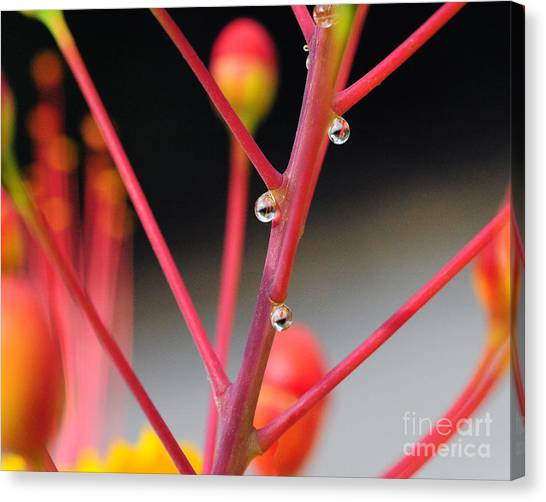Red Dew Canvas Print