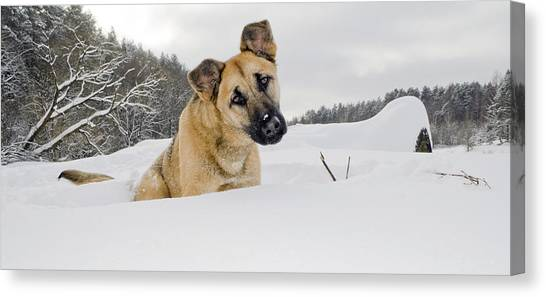 Red Dog Sits In A Snowdrift Canvas Print