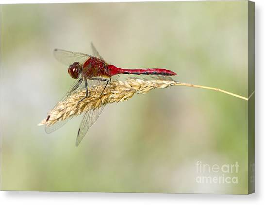 Red Dragonfly Canvas Print by Sharon Talson