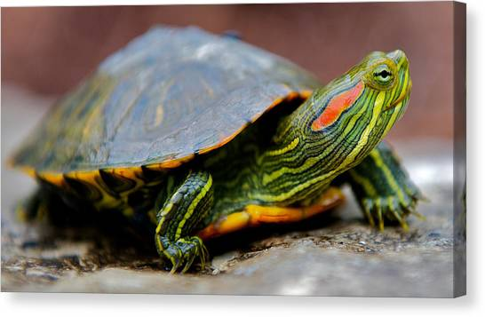 Red Eared Slider Turtle Side View Canvas Print by Kelly Riccetti