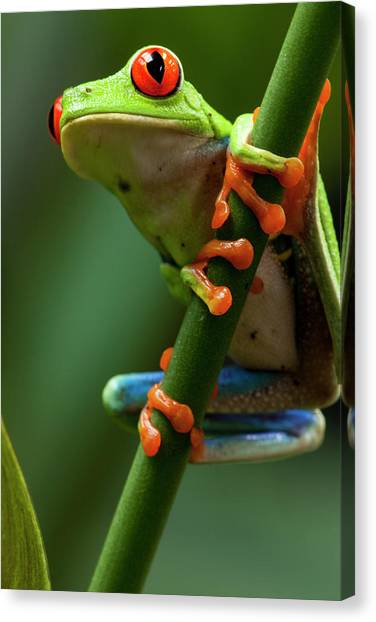 Monteverde Canvas Print - Red-eyed Tree Frog, Costa Rica by Paul Souders