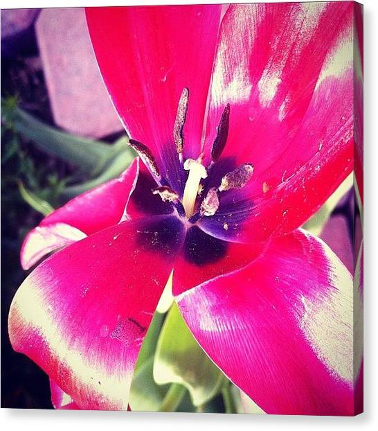 Tulips Canvas Print - #red #flower #tulip #nature #instamood by Jenni Munoz