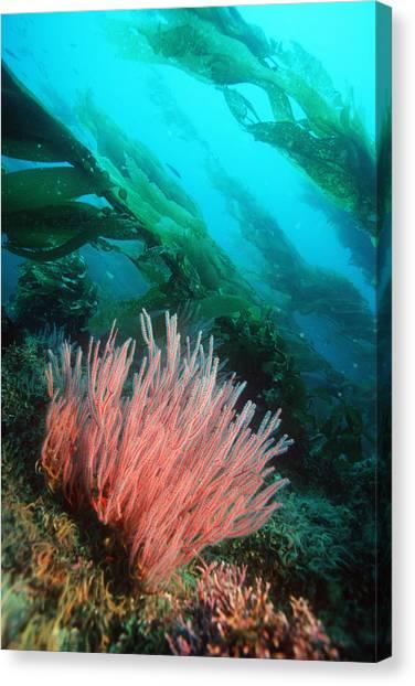 Kelp Forest Canvas Print - Red Gorgonian by Georgette Douwma