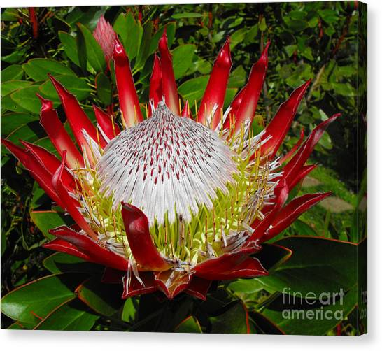 Red King Protea Canvas Print