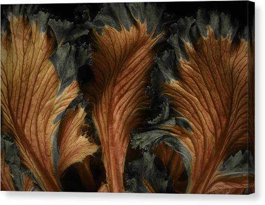 Red Lettuce Canvas Print
