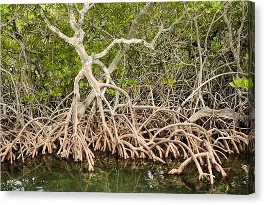 Mangrove Trees Canvas Print - Red Mangrove Rhizophora Mangle by Tim Laman