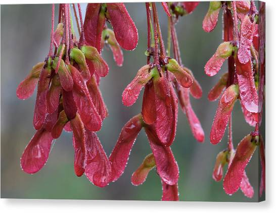 Red Maple Keys With Raindrops Canvas Print