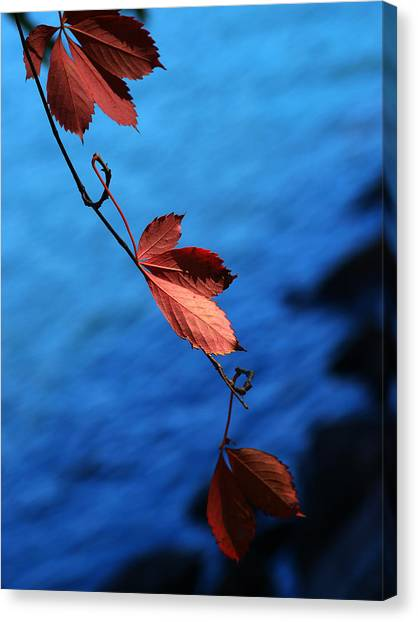 Maple Leaf Art Canvas Print - Red Maple Leaves by Paul Ge