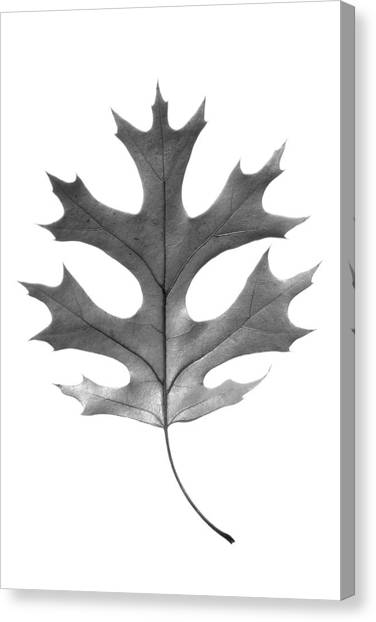 Red Oak Leaf Canvas Print