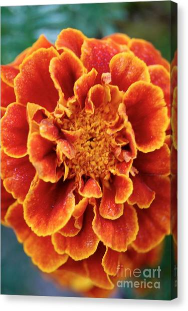 Red-orange Marigold Canvas Print