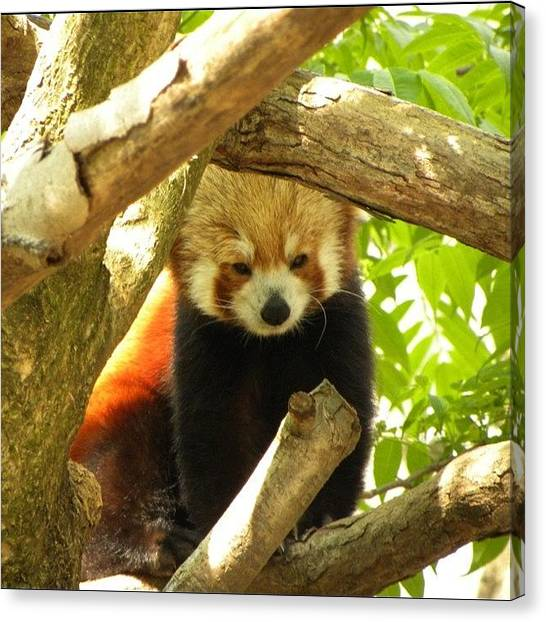 Bears Canvas Print - Red Panda From The National Zoo by Jessie Schafer