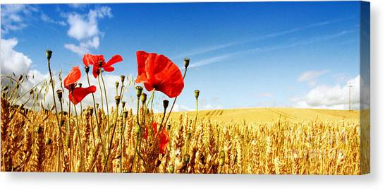 Red Poppies In Golden Wheat Field Canvas Print by Catherine MacBride