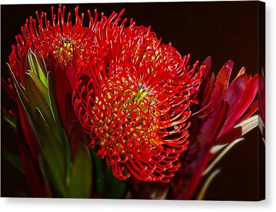Red Protea Flower Canvas Print by Michelle Armstrong