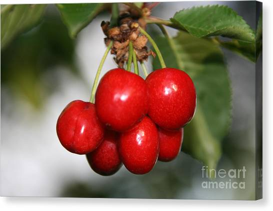 Red Ripe Cherries Canvas Print