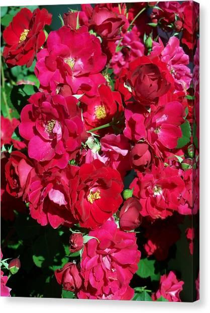 Red Rose Bush Canvas Print