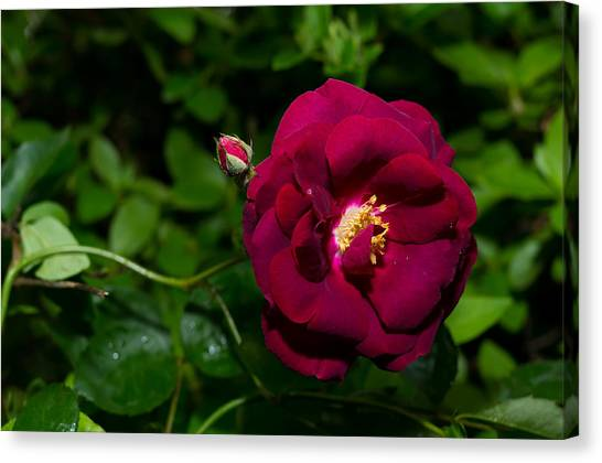 Red Rose In The Wild Canvas Print