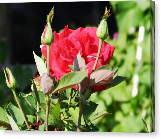 Red Roses Canvas Print by LaDonna Vinson